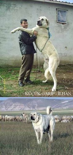 - Anatolian Shepherd. Guardian Dog that can fight bear and wolf if necessary to protect sheep herds: