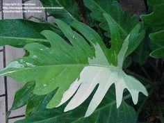 Philodendron Pinnatifidum albo variegata #plantwishlist