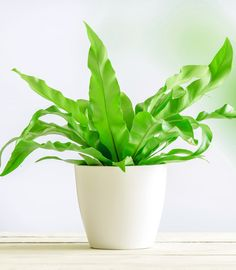 Birds Nest Fern Plant Care - Asplenium nidus Everyone loves ferns but some of them can be quite trou Indoor Ferns, Indoor Tropical Plants, Potted Plants, Fern Houseplant, Fern Plant, Popular House Plants, Bird Nest Fern, Asparagus Fern, Small Backyard Pools