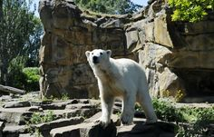 Death of Knut the Polar Bear Is Explained at Last - The New York Times - Knut in his enclosure at the Berlin Zoo in 2010, a year before he died at age 4. Credit Barbara Sax/Agence France-Presse — Getty Images