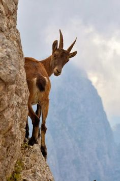 How does she get up the mountain - just like you my friend, one sure footed step at a time. Melanie DewBerry