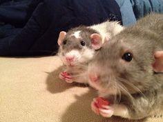 DIY Yogurt Drops for Rats...  <3