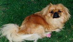 Perros Pekines - Resultados de Yahoo España en la búsqueda de imágenes