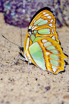Newly emerged butterfly drying her wings.