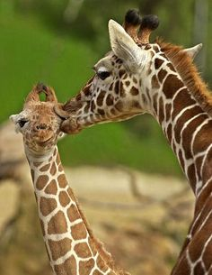 Funny giraffes (39 pics) - Izismile.com