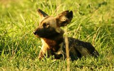 painted dogs of africa photos | African Wild dog (painted dog)