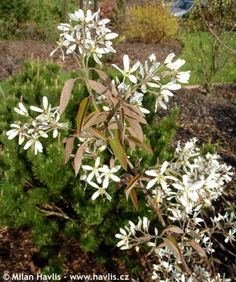 Amelanchier lamarckii Green Flowers, Green Colors, Tall Shrubs, The Clumps, End Of Winter, Small Trees, How To Level Ground, Star Shape, Perennials
