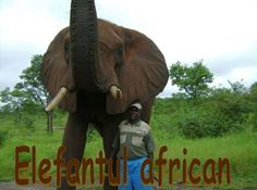 The African elephant is the largest animal walking the Earth. Their herds wander through 37 countries in Africa. Walk The Earth, African Elephant, Large Animals, Zimbabwe, Presentation, Mai, Wander, Countries, Walking