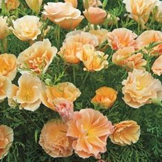 Californian Poppy 'Peach Sorbet' seeds from Thompson & Morgan - experts in the garden since 1855 Full Sun Flowers, Peach Flowers, Cut Flowers, Peach Sorbet, Gravel Garden, California Poppy, Annual Flowers, Santa Lucia, Flower Seeds