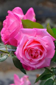 Distinctive Gifts Mean Long Lasting Recollections Grace De Mnaco Rose Rose Flower Pictures, Flowers Gif, Beautiful Rose Flowers, Pretty Roses, Romantic Roses, Amazing Flowers, Beautiful Flowers, Nice Flower, Yellow Roses
