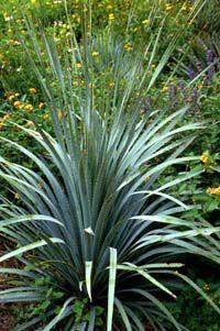 Wheeler sotol (Dasylirion wheeleri) for native Texas garden
