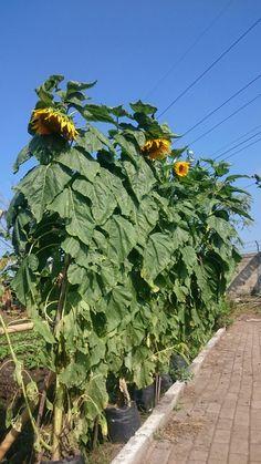 Big sun flower