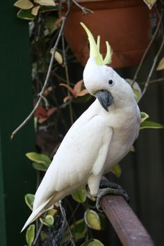 White Cockatoo. These beautiful noisy birds visit my garden every day.
