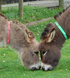 LOVE IS .....grazing nose to nose. Trios and Tiffeny are always within a couple of metres of each other. We find all our jennies seem to have one special friend but these two have taken it a step further !     Courtesy: Clovercrest Miniature Donkey Stud, Pukekohe (New Zealand).