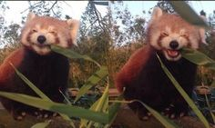 This Happy Red Panda Eating Bamboo Is Our Favorite Foodie