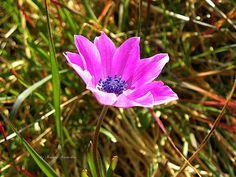 anemone by kxkosmas