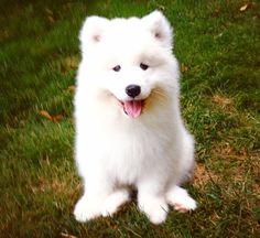 Cute Samoyed-reminds me of Sunny