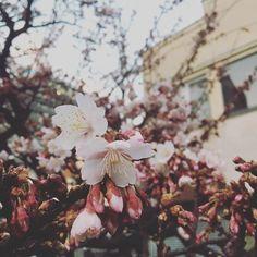 【khaosan_atami】さんのInstagramをピンしています。 《今日糸川の桜はちょっと咲きました!🌸 Atami get some cherry blossom today!!! #khaosan#khaosanatami#atami#hostel#ryokan#onsen#guesthouse#熱海#カオサン#カオサン熱海#ゲストハウス#ホステル#旅館#温泉#海#桜#糸川 #cheeryblossom》
