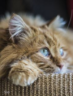 cute orange cat with blue eyes from very close süße orange Katze mit blauen Augen von ganz nah cute orange cat with blue eyes from very close Cute Cats And Kittens, I Love Cats, Crazy Cats, Cool Cats, Kittens Cutest, Ragdoll Kittens, Tabby Cats, Bengal Cats, Sphynx Cat