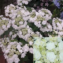 Wedding Gown Hydrangea- )Blooms resemble mini bouquets! Considered a modified lace-cap hydrangea, the blooms have an outer ring of large, double white flowers and inner rings of smaller, double white flowers. Blooms earlier than many other H. macrophylla and if deadheaded will rebloom until fall when the stems turn a lovely burgundy color. Blooms on new wood so trim back in early spring before new growth begins. Grows 2 to 3 feet tall and 3 to 5 feet wide.