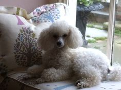 Penny, toy poodle