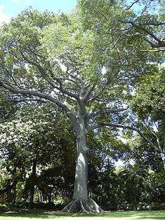 """Kapok tree Honolulu.jpg """"Der #Kapokbaum (Ceiba pentandra), auch als Wollbaum bezeichnet, ist eine Pflanzenart aus der Gattung Ceiba in der Unterfamilie der Wollbaumgewächse (Bombacoideae)."""""""