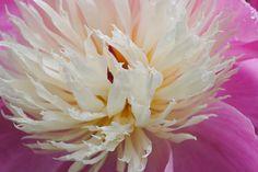 Pink Peonie flower, white, orange, original signed Fine Art photo giclee print, Nature photography - Photography print on Etsy, $12.87