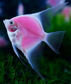 According to Taipei Times, researchers from Jy Lin Trading, National Ocean University and Academia Sinica have developed the world's first-ever fluorescent pink angelfish.