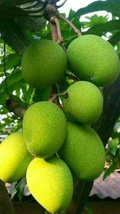 Mango Fruit, Mango Tree, Fruit And Veg, Fruits And Vegetables, Fresh Fruit, Fruit Tree Garden, Fruit Plants, Fruit Trees, Mango Benefits