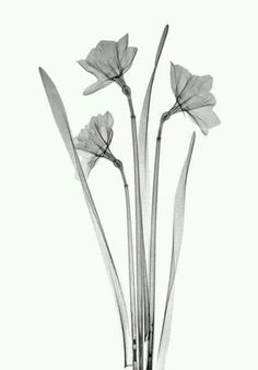 X-ray of Jeff's birth flower, narcissus
