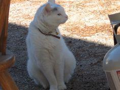 lelu dallas multicat enjoys resting in the garden.