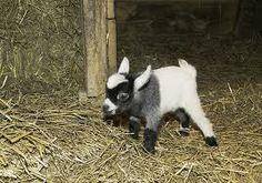 Pygmyy Goatt!