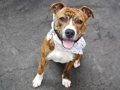 ★❥★SAFE 04/02/15 ★❥★ Manhattan Center My name is TIGGER. My Animal ID # is A1031560. Pulled by Last Chance Animal Rescue (LACAR) I am a male br brindle and white american staff mix. The shelter thinks I am about 1 YEAR 1 MONTH old. I came in the shelter as a STRAY on 03/28/2015 from NY 10025, owner surrender reason stated was STRAY. https://www.facebook.com/photo.php?fbid=986377798041766