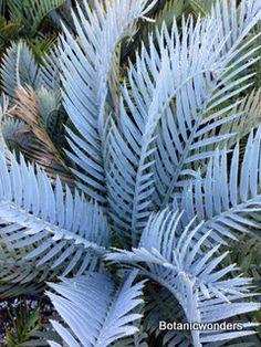 Cycad Encephalartos lehmannii