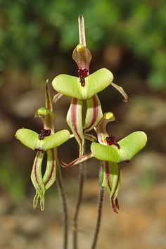 Clown-Orchid, aka Ant-Orchid Caladenia roei - The Orchids of Southwestern Australia. Strange Flowers, Unusual Flowers, Unusual Plants, Most Beautiful Flowers, Rare Flowers, Pretty Flowers, Wild Flowers, Orchid Flowers, Roses Pink