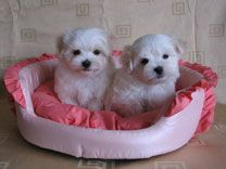 NZKC Registered Purebred Maltese Puppies for sale!