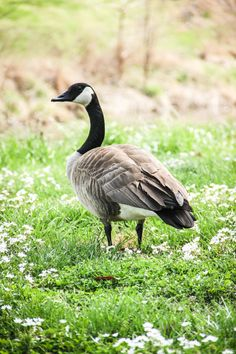 Profile Of Canadian Goose Standing On A River by RedHedgePhotos, $9.99