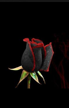 Black rose from Turkey ,