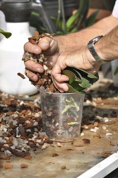 Le rempotage n'est pas nécessaire chaque année, seulement quand le substrat & Repotting is not necessary every year, only when the substrate begins to decompose or the plant has grown too much.