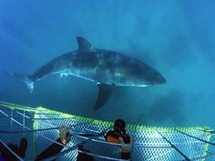Shark cage diving, False Bay, Cape Town  Birds eye view of a Great White shark swimming about  http://www.capepointroute.co.za/moreinfoExperience.php?aID=54