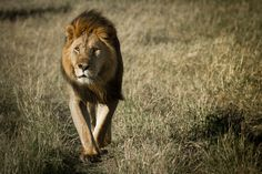'Male lion' von martin buschmann bei artflakes.com als Poster oder Kunstdruck $20.79