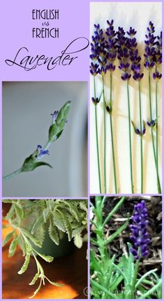 Learn a little about the differences between French and English lavender and how to grow them.