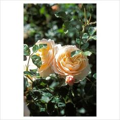 GAP Photos - Garden & Plant Picture Library - Rosa 'Crocus Rose' - David Austin rose - GAP Photos - Specialising in horticultural photography