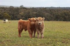 CHECK out our picture gallery to see why Highland Cows are the cutest breed of cattle around. Cute Baby Cow, Baby Cows, Cute Babies, Cow Pictures, Cute Animal Pictures, Cow Pics, Cute Sheep, Cute Cows, Cute Little Animals