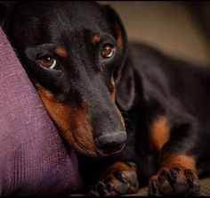 Bunny, our black and red female dachshund, enjoys a little relaxation Really Cute Puppies, I Love Dogs, Cute Dogs, Dachshund Art, Funny Dachshund, Weenie Dogs, Doggies, Dachshunds, Mans Best Friend