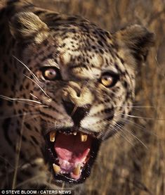 They grow old so fast: Terrifying picture of a leopard shows how cute cubs soon become deadly predators Wild Ones, Wild Things, Steve Bloom, All Gods Creatures, Leopards, Pictures To Draw, Big Cats, Predator, Mail Online