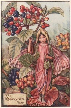 FLOWER FAIRIES/BOTANICALS: The Wayfaring-Tree Fairy; This is an original vintage Cicely Mary Barker Flower fairies colour print. It is not a modern reproduction, c1935; approximate size 11.0 x 7.5cm, 4.5 x 2.75 inches