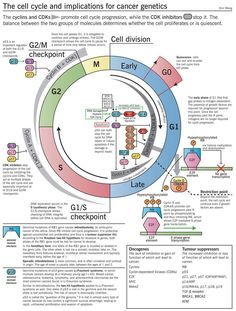 The cell cycle and implications for cancer genetics, infographic.