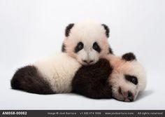 Mei Lun and Mei Huan, the twin giant panda cubs (Ailuropoda melanoleuca) at Zoo Atlanta.