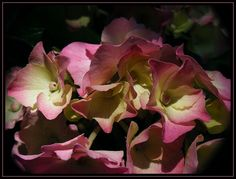 Hydrangea, Outdoor Gardens, Rose, Flowers, Plant, Pink, Hydrangeas, Roses, Royal Icing Flowers